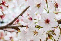 Sakura - όμορφο άνθος κερασιών στην πλήρη άνθιση στην Ιαπωνία Στοκ Εικόνες