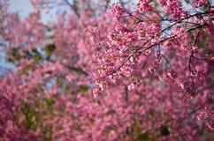 Sakura в Таиланде Стоковое Фото