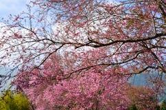 Sakura в Таиланде Стоковая Фотография RF