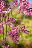 Sakura в Таиланде Стоковые Фотографии RF