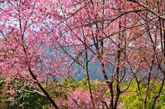 Sakura в Таиланде Стоковая Фотография