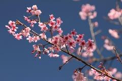 Sakura в Таиланде Стоковые Изображения