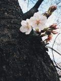 Sakura в японии Стоковые Фотографии RF