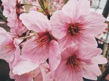 Sakura в японии стоковое изображение rf