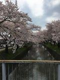 Sakura в японии Стоковая Фотография