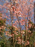 Sakura Таиланд Стоковое Изображение