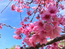Sakura Таиланд Стоковые Изображения RF