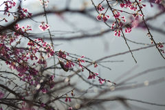 Sakura Таиланд Стоковое фото RF