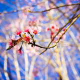 sakura тайский Стоковые Фото