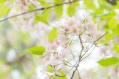 sakura тайский Стоковые Изображения