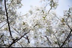 Sakura Photos stock