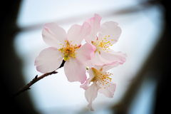 sakura Стоковые Изображения RF