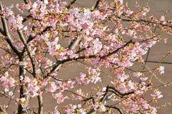 Sakura. Blossom of cherry tree in the spring Stock Photo