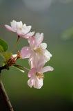 Sakura. Pink Sakura blossoms open on the tree Royalty Free Stock Photos