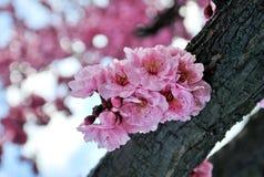 sakura Стоковые Фотографии RF