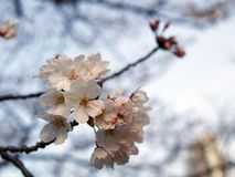 Sakura. Cherry blossom is an omen of good fortune and is also an emblem of love, affection and represents spring Royalty Free Stock Photo