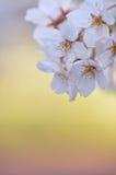 Sakura Lizenzfreies Stockfoto