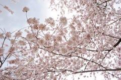 sakura Стоковое Изображение RF