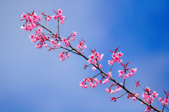 Sakura. Fotografia Stock