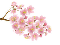 Sakura Stock Photos