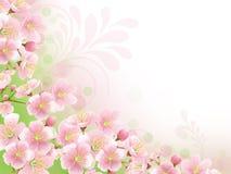 Sakura. Background with branch of sakura in blossom Royalty Free Stock Photography
