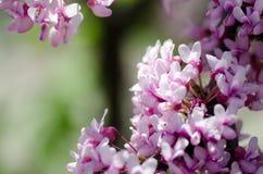 Sakura. Fotos de archivo libres de regalías