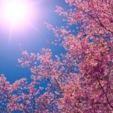 Sakura Stock Photos