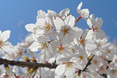 Sakura Stock Images