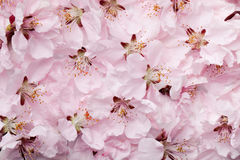 Sakura Royalty Free Stock Image