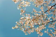 Sakura Royalty-vrije Stock Foto