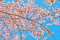 Sakura Immagine Stock