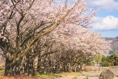 Sakura Photographie stock libre de droits