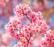 Free Sakura Royalty Free Stock Photos - 33181478