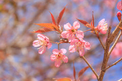 Sakura Stock Afbeelding