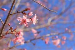 Sakura Stock Foto