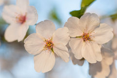 Sakura zdjęcie stock