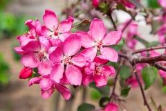 Sakura Arkivfoton