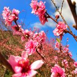 Sakura Immagini Stock Libere da Diritti