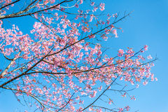 Άνθος Sakura Στοκ εικόνες με δικαίωμα ελεύθερης χρήσης