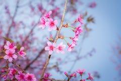 Sakura Στοκ Φωτογραφία