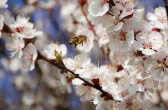 Sakura Imagen de archivo
