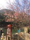 Sakura Fotografia de Stock Royalty Free