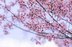 Sakura Photo stock