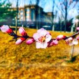 Sakura Στοκ φωτογραφίες με δικαίωμα ελεύθερης χρήσης
