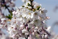 Sakura Royaltyfri Foto