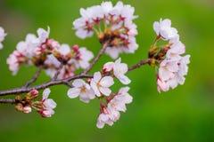 Sakura Arkivbilder