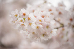 Sakura Photographie stock