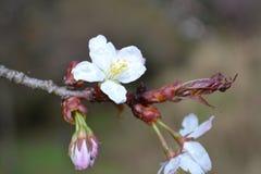 Sakura Obraz Stock