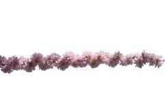 Sakura Fotografia Stock