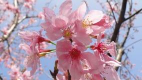 Sakura Imagem de Stock Royalty Free